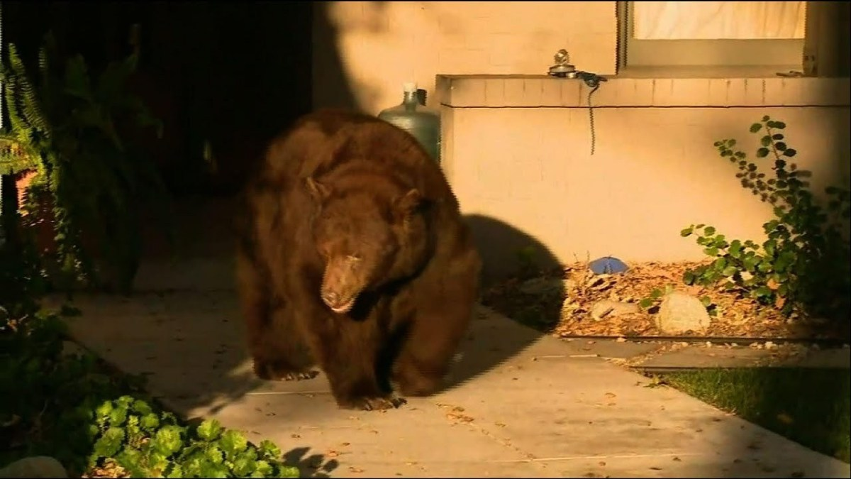 Bear that strolled through CA neighborhood is back in forest where he belongs